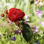 Röd ros