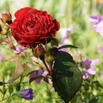 Klassisk röd ros